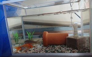 夢工房に金魚がやってきました!